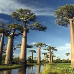 Magnifique baobabs à Madagascar