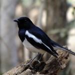 Oiseau Kirindy Mitea