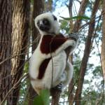 Lémurien de l'espèce des sifakas