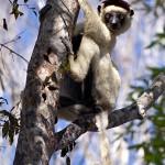 Lemurien endémique du parc de Kirindy